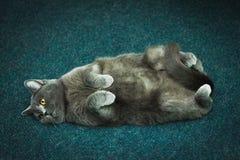 Die Katze ist auf dem hinteren Grau fett stockfotografie