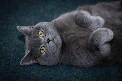 Die Katze ist auf dem hinteren Grau fett stockfotos