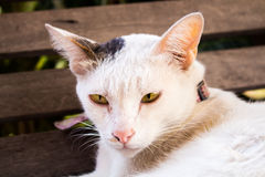 Die Katze mit scharfen Augen Lizenzfreie Stockfotos