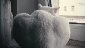 Die Katze sitzt auf dem Fensterbrett stock video