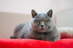Die Katze steht auf dem Bett still Britische blaue Katze Lizenzfreie Stockfotos