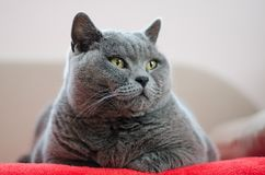 Die Katze steht auf dem Bett still Britische blaue Katze Lizenzfreie Stockfotografie