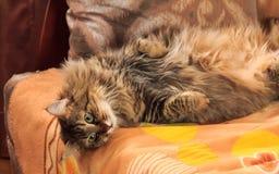 Die Katze steht auf der Couch still Lizenzfreies Stockfoto