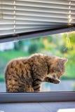 Die Katze wird gewaschen und sitzt auf dem Fensterbrett Interessieren für cleanl stockbild