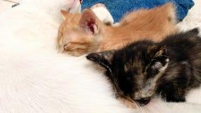 Die Katze zieht Kätzchen ein stock footage