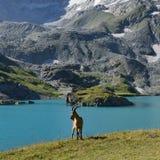 Die kaukasische Westziege Lizenzfreies Stockfoto