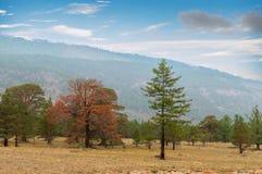 Die Kiefer im Wald Lizenzfreie Stockfotografie