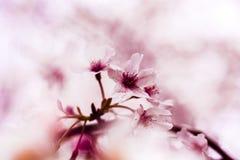 Die Kirschblüte Stockfotografie
