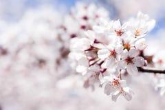 Die Kirschblüte Lizenzfreie Stockfotos