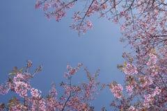 Die Kirschblüte auf Hintergrund des blauen Himmels Stockfotografie