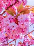 Die Kirschblüte-Blüten bei Sonnenaufgang lizenzfreie stockbilder