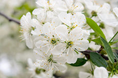 Die Kirschblüten Stockfotografie