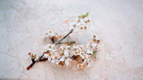 Die Kirschblüten im Frühjahr Stockfotografie