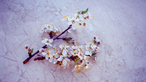 Die Kirschblüten im Frühjahr Stockfoto