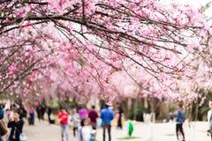 Die Kirschblüten in kunmingï ¼ ŒChina Lizenzfreie Stockfotos