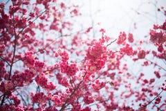 Die Kirschblüten in kunmingï ¼ ŒChina Lizenzfreies Stockfoto