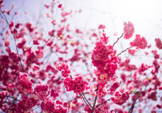 Die Kirschblüten in kunmingï ¼ ŒChina Lizenzfreies Stockbild