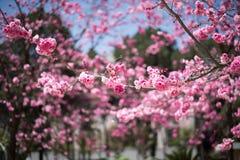 Die Kirschblüten in kunmingï ¼ ŒChina Stockbilder