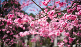 Die Kirschblüten in kunmingï ¼ ŒChina Lizenzfreie Stockfotografie