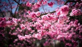 Die Kirschblüten in kunmingï ¼ ŒChina Stockfotografie