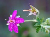 Die klebrige Pelargonien-wilde Blume Lizenzfreies Stockbild
