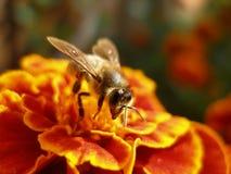 Die kleine Biene Stockbilder