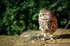 Die kleine Eule Wilder Vogel Lizenzfreies Stockfoto