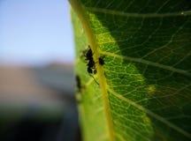 Die kleine große Ameise lizenzfreies stockbild