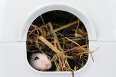 Die kleine Maus, die Nase aus ihr heraus haftet, ist Loch Stockfotografie