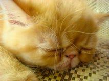 Die kleine persische Katze Lizenzfreie Stockfotos
