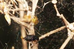 Die kleine Spinne und sein großes Opfer stockfotos