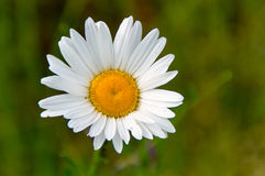 Die kleine weiße Blume Lizenzfreie Stockbilder