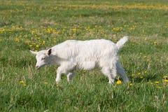 Die kleine weiße Ziege Stockfotografie