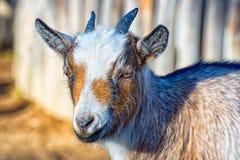 Die kleine Ziege Lizenzfreies Stockfoto