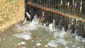 Die kleinen Forellen im Behälter versuchen, durch Stangen, Wasser zu schwimmen ausgießend mit Bachforelle Schmutziger Strom, Wass stock video footage
