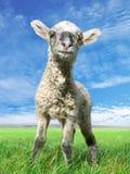 Die kleinen Schafe Lizenzfreie Stockfotos