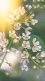 Die kleinen weißen Blumen der Kirsche auf einem grünen Hintergrund bei Sonnenuntergang Beschaffenheit Der vertikale Rahmen Stockbild