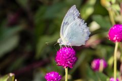 Die kleinen weißen Pieris rapae ein Schmetterling von Kerala, Indien stockbilder
