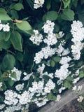 Die kleinen wei?en Blumen stockbilder