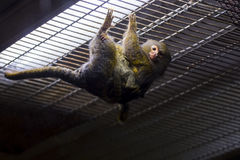 Die kleinsten Affen Lizenzfreies Stockbild