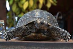 Die kluge Schildkröte stockfotos