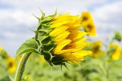 Die Knospe der Sonnenblume Stockbilder