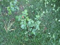 Die Knospe einer Rosenblume Stockbild