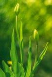Die Knospen einer Tulpe im Sonnenlicht auf einem schönen Hintergrund im Garten lizenzfreie stockfotografie