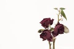 Die Knospen trockneten Rosen Stockfotografie
