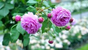 Die Knospen von purpurroten Rosen Stockbilder