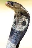 Die Kobra Lizenzfreie Stockbilder
