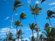 Die KokosnussPalme Stockfotografie