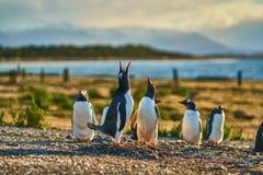 Die Kolonie von Pinguinen auf der Insel im Spürhund-Kanal Gelbes Feld, blauer See und Schnee-mit einer Kappe bedeckte Berge Ushua stockfoto