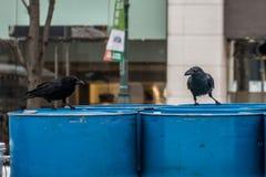 Die Krähe auf dem Barrel Erdöl stockfotografie